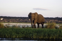 African Elephant Loxodonta on the border of Zambia and Zimbabwe
