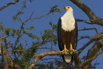 African Fish Eagle Haliaeetus vocifer