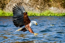 African Fish Eagle Haliaeetus vocifer going in for a catch
