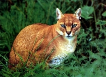 African Golden Cat Profelis aurata