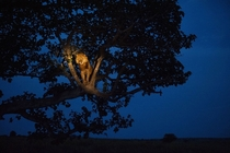 African lion Panthera leo in a tree in Uganda at nighttime
