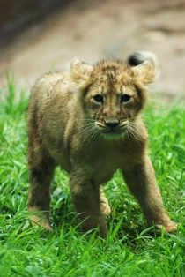 African Lion Panthera Leo male cub at Paignton Zoo Devon