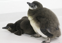 African Penguin chicks Spheniscus demersus