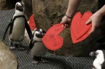 African penguins receive valentines from biologist Crystal Crimbchin at The California Academy of Sciences African penguin exhibit in San Francisco on February   The valentines will be used as nesting material