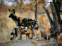 African Wild Dog Lycaon Pictus by Chris Johns