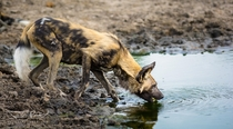 African Wild Dog stops for a drink