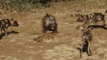 African Wild Dogs Lycaon pictus vs Brown Hyena Hyaena brunnea