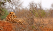 After a failed hunt a Cheetah with her one surviving cub - photo by tdwrsa
