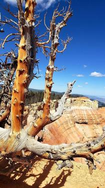 After  days of hiking I felt haggard like this Bristlecone Pine