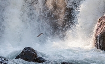 Against All Odds Brown trout trying an ambitious jump at Firehole Falls in Yellowstone