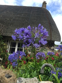 Agapanthus and seagull Cadgwith Cornwall