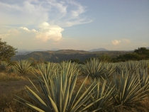 Agaves field in Tequila Mexico