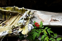 Airplane wing and undergrowth Remains of TWA Flight  Crashed in the Sandia Mountains NM in