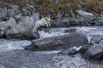 Alaska United States of America Dall Sheep Ram jumps over a small river in Denali National Park and Preserve writes photographer Miles Leguineche