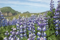 Alaskan Lupine on the Westman Islands Iceland