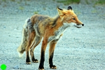 Alaskan Red Fox