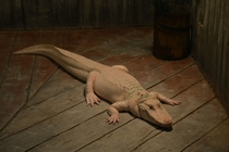 Albino alligator on a dock