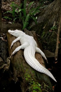 Albino alligator x-post from rpics