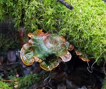Algae affected Fungi in Mt Field National Park Tasmania Australia