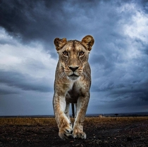 All hail the queen A beautiful picture of a lioness from Serengeti national park Tanzania