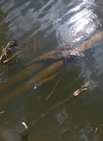 Alligator in Daphne AL  OC