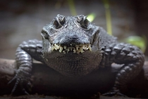 Alligator smiling for the camera