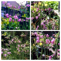 Allium cernuum  Nodding Onion - I love having these in my backyard garden