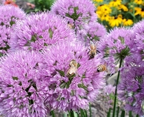 Allium flowers with honey bees