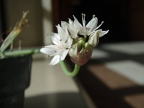 Allium haematochiton Redskin Onion