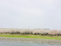 Almond orchard in full bloom Feb