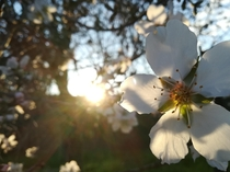 Almond tree flowers are beautiful
