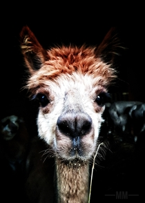 Alpaca - my best shoot And she did not spit