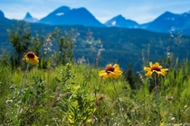 Alpine flowers grow on the border of Glacier National Park and Waterton Lakes National Park