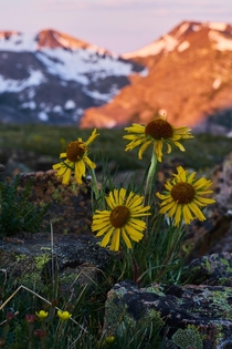Alpine Sunflowers rydbergia grandiflora in RMNP
