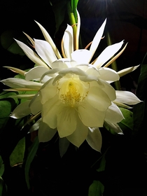 Amazed blooming--Epiphyllum