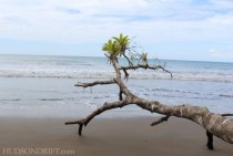 amazing fresh growth on driftwood in Costa Rica