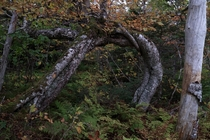 Amazing old-growth birch tree loop deep in the Mabou Highlands Cape Breton Island Nova Scotia Canada