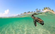 Amazing picture of a baby sea turtle off the coast of Bora Bora