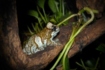Amazon milk frog on a branch