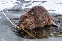 American Beaver enjoying a willow branch