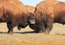 American bison butting heads