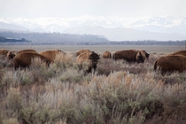American Bison herd in Jackson Hole Wyoming