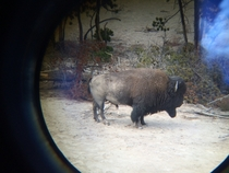 American Bison seen through binoculars in Yellowstone National Park