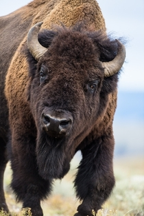 American bisonBos bison bull in Yellowstone Parkx