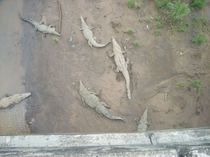 American crocodiles Crocodylus acutus under a highway bridge in Costa Rica