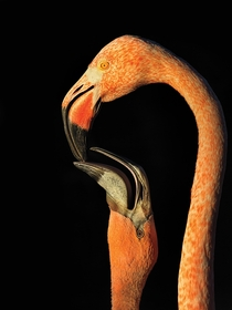 American Flamingo Photo Steve Russell