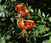 American tiger lily Lilium superbum Cherokee National Forest Tennessee
