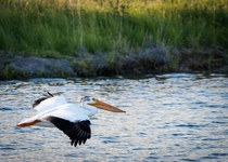 American White Pelican in flight   x