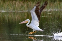 American white pelican taking off at green cay wetlands in Delray BeachFlorida