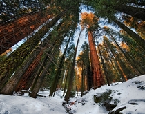 Among the Big Ones Sequoia Trees at Sunset  by John Fowler  x-post rHI_Res